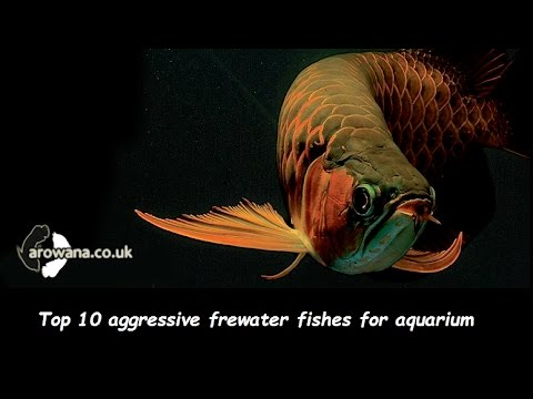 Top 10 aggressive freshwater fish for aquarium