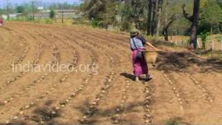 Potato farm and farmers in Shillong
