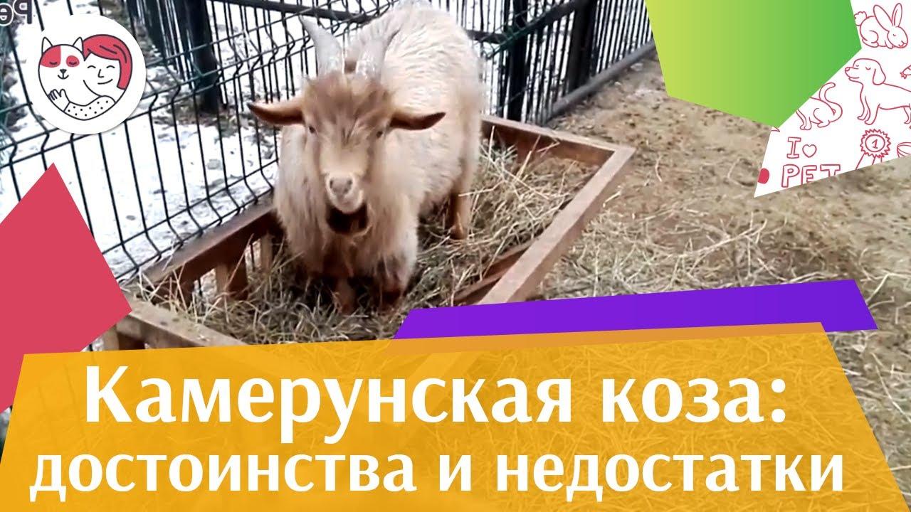 Камерунская  коза  Достоинства  и  недостатки на ilikepet