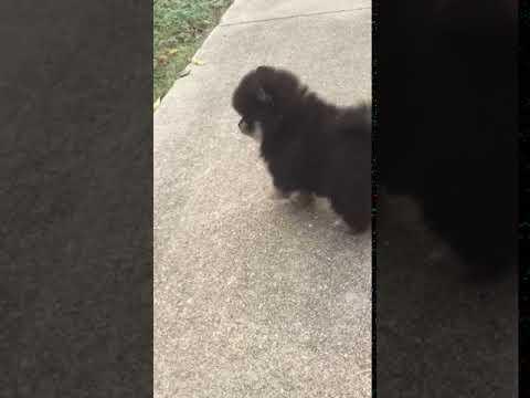 Blacky beautiful tri-color male Pomeranian
