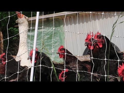 Keep Them Out! Chickens Damage The Garden