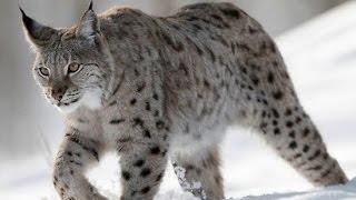 Рысь обыкновенная - European Lynx (Энциклопедия животных)
