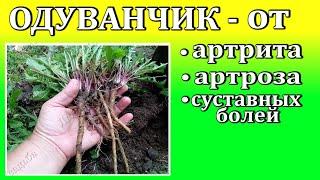 Лекарственные травы Одуванчик для лечения артритов, артрозов ...