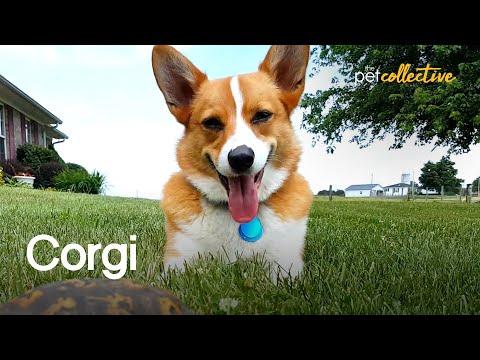 הכלב החמוד ביותר שיש – ולש קורגי