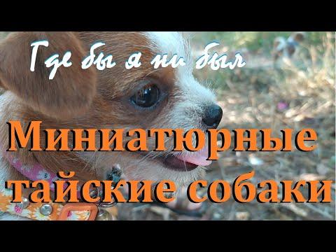 """21 серия """"Где бы я ни был"""": Миниатюрные тайские собаки, апрель 2020 г."""