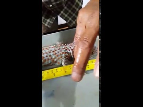 Video Tokek Panjang 45 cm Asli