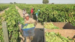 Pisca De Uva | La Gandola En Madera California | Trabajando Por Contrato En Estados Unidos