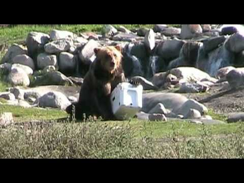 Bear vs. Yeti Cooler