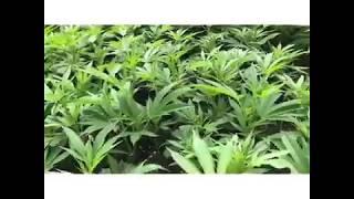 Light Dep Legal Cannabis Grow - Veg 2018 - Early Grow Stage