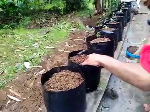 Video CARA MENANAM CABE DENGAN MEDIA POLYBAG