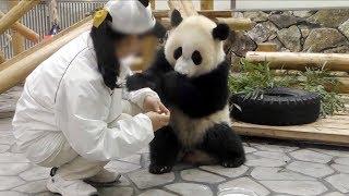 【子パンダ✨】🐼結浜のミルクタイム🎀🍼✨【ノーカット♪】 Giant Panda -Yuihin-☆Milk Time♪