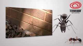 Are Black Ants Driving you Crazy?