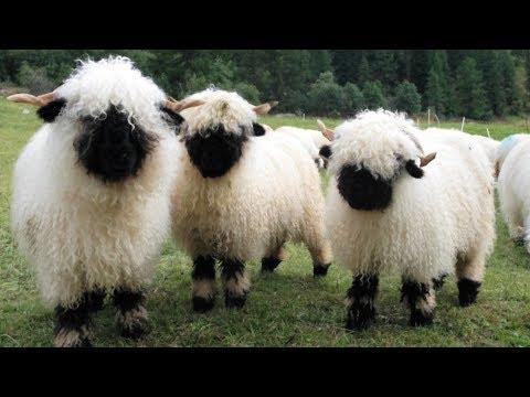 Valais Blacknose Sheep | World's Cutest Sheep