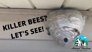 How To Treat A Bald-Faced Hornet Nest