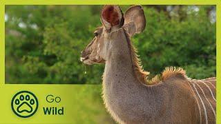 Kudus - Africa's Wild Wonders - The Secrets of Nature