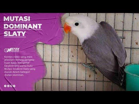 mp4 Lovebird Warna Slaty, download Lovebird Warna Slaty video klip Lovebird Warna Slaty