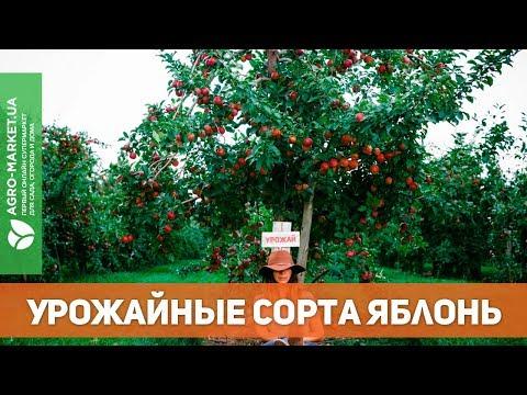 УРОЖАЙНЫЕ СОРТА ЯБЛОНЬ. яблоня ред чиф и другие | Agro-Market.ua