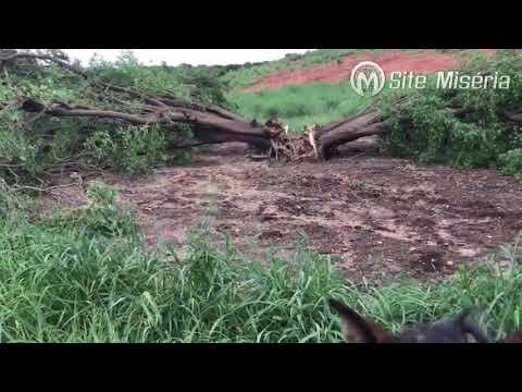 Raio parte árvore centenária ao meio na zona rural de Cedro, no interior do Ceará