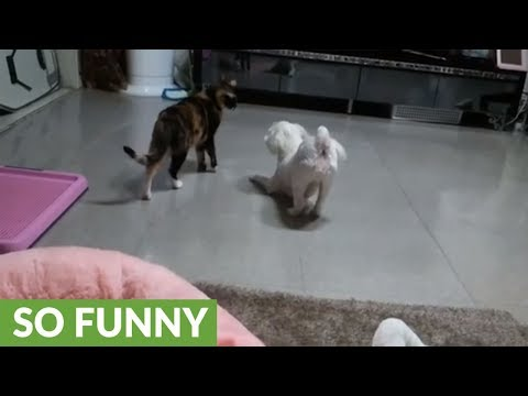 Cat moves in slow motion to get past playful dog