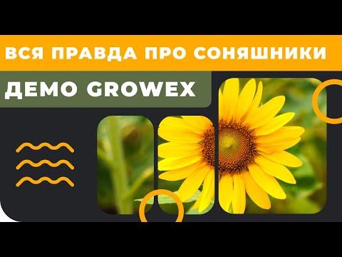 Вся правда о подсолнечниках на Демо Growex!