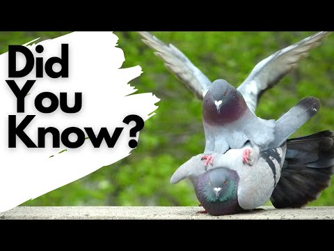 , title : 'Things you need to know about FERAL PIGEONS!