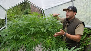 Outdoor Home Grow Ep 3 - Transition Your Cannabis Plants To Flowering
