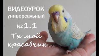 """🎶 Учим попугая говорить. Урок 1: """"Ты мой красавчик"""""""
