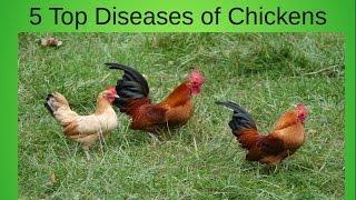 Top 5 Diseases of Your Home Chicken Flock