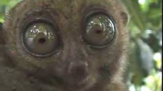 Смотреть онлайн Завораживающий взгляд лемура