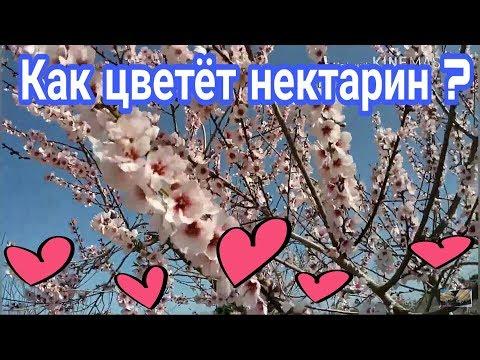 Как цветёт нектарин ? Весна 💞 😍 24 февраля 2019 .VLOG. Испания #spring #весна #нектарин