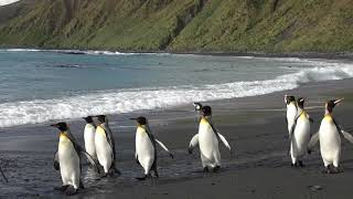King Penguin Aptenodytes patagonicus, 15 Feb. 2019, Macquarie Island.