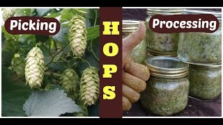 Hops: How To Harvest, Process, And Store Hops
