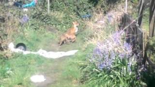 Fox cubs playing in back Garden