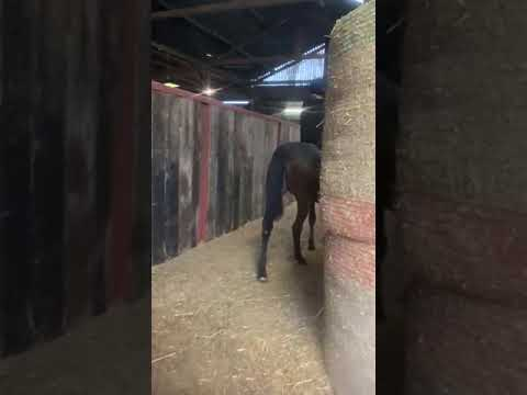 Ardad x Love Action 2019 filly being ridden