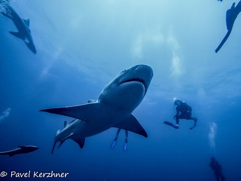 Shark Dive in Jupiter, FL on Emerald Charters