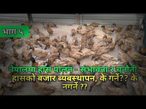 Has Palan- Duck farming, [भाग ५] तयारी हासको बजार ब्यबस्थापन । Duck Marketing