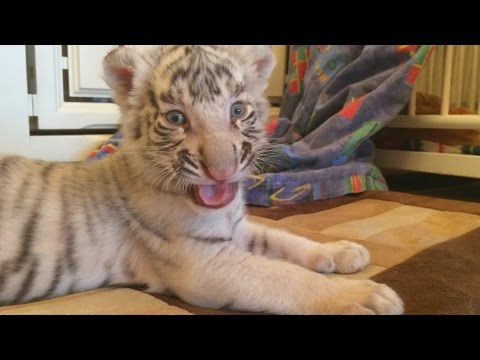 Dog Adopts Baby Tiger Cubs