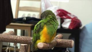 Kili Senegal Parrot and Duke the Budgie Fall Asleep Together