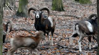 Mouflon hunting in Hungary 2020