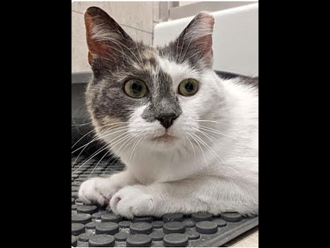 Smuckers, an adoptable Domestic Short Hair in Greenburgh, NY_image-1