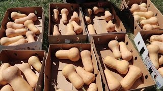 How To Cure And Store Butternut Squash! (To Last All Winter!)