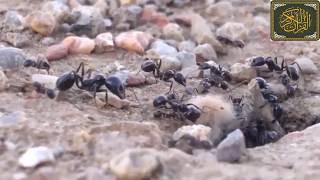 قصة سيدنا سليمان عليه السلام مع النملة والهدهد !! تلاوة خاشعة جدا بصوت الشيخ ماهر المعيقلي .