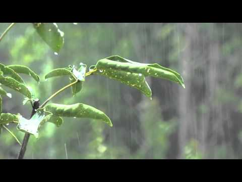 Rain Sounds: Relaxing Rain without Thunders for Relaxation – Relaxing Sounds of Nature No Thunders