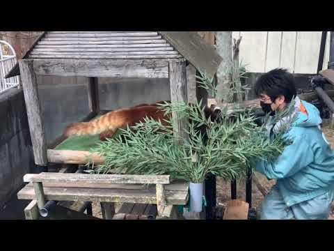 レッサーパンダ (アスナロとシンゲン)