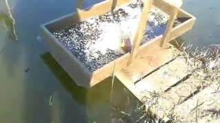Чем кормить карпа в домашнем пруду