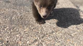 Discovery Wildlife Park Kodiak Bear Cub Berkley