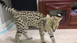 Thú chơi mèo báo của dân chơi Hà Nội
