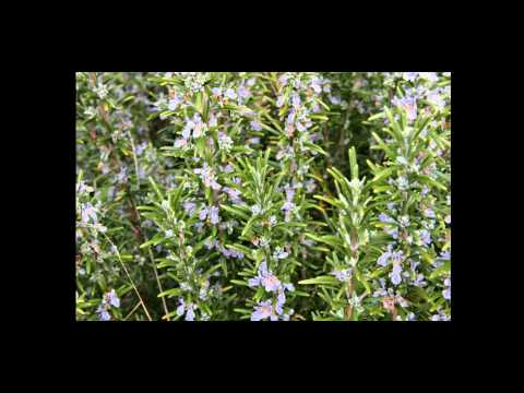 Video The Amazing Health Benefits of Rosemary