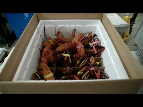 Youtube Video Still for How American Lobster is Prepared for Shipping