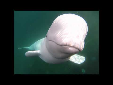 Beluga whale returns a kayaker's dropped GoPro